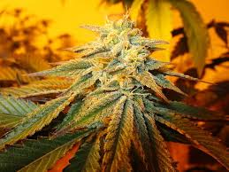 Large Bud Seeds Available